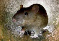 lağım faresi nasıl beslenir, lağım faresi yaşamı